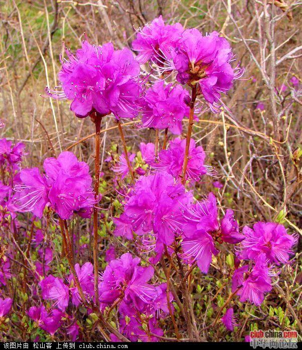 东北杜鹃花每年春天漫山遍野绽放