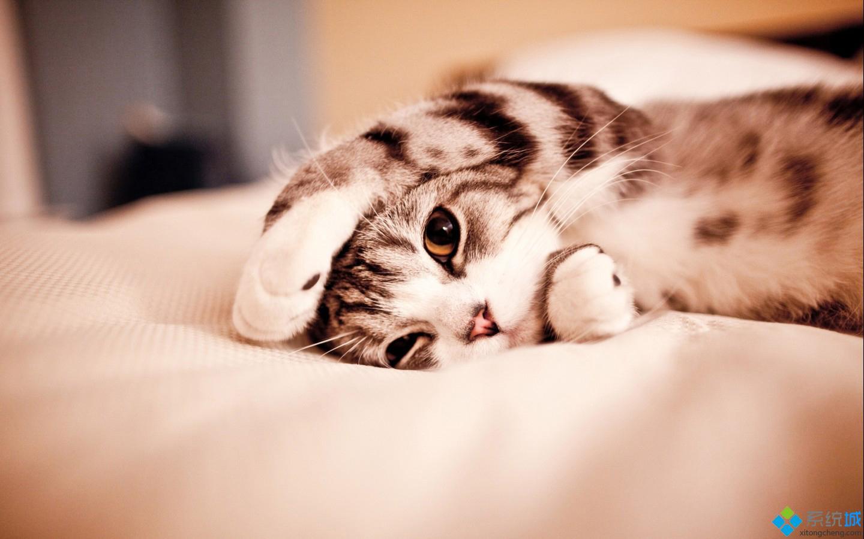 桌面壁纸里的猫咪懒洋洋地躺着,一直爪子盖在脸上,好可爱又好萌的动作